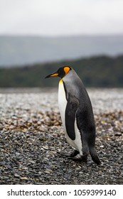 king penguin, Aptenodytes patagonicus, walking on rocky gravel