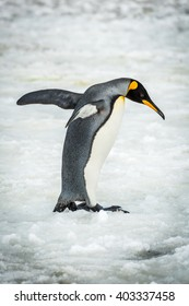 King penguin balancing with flippers on ice