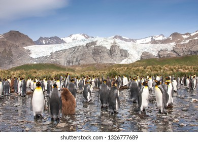 king penguin breeding colony in an island of South Georgia