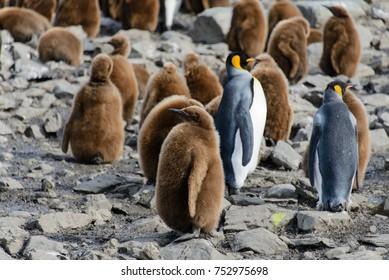 King penguin chicks