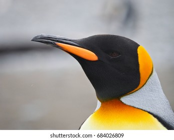 King Penguin Close Up Face Salisbury Plain South Georgia Island
