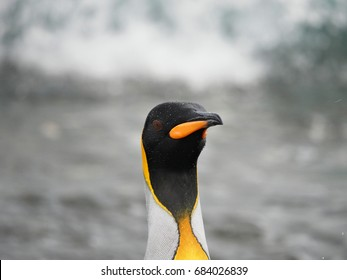 King Penguin Close Up Salisbury Plain South Georgia Island