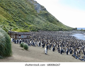 King Penguin colony Macquarie Island
