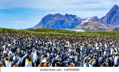 King penguin colony, many birds together, in  South Georgia, Antarctic