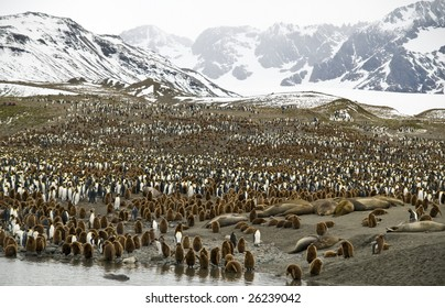King penguin colony with mountain background -South Georgia