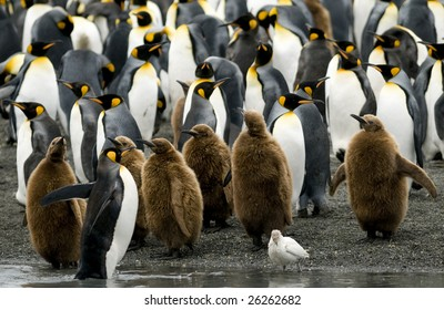 King penguin colony with Sheathbill