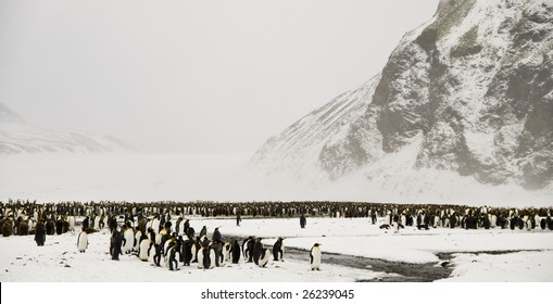 King penguin colony in the snow - South Georgia