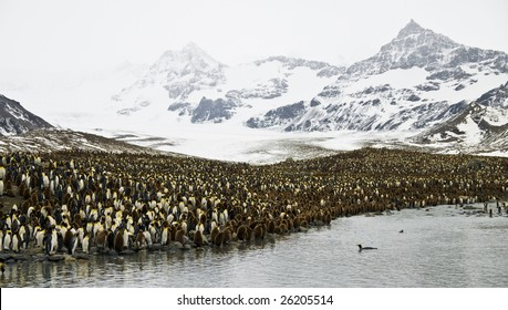 King penguin colony - South Georgia