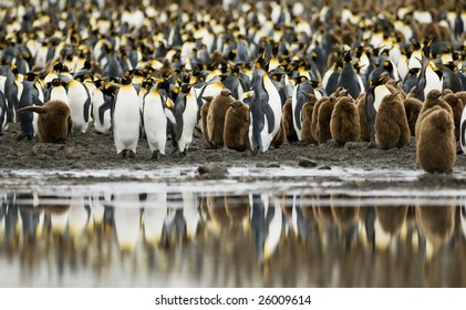 King penguin colony with water reflection - South Georgia
