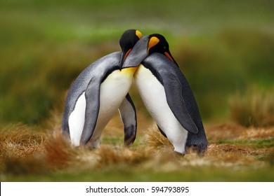 King penguin couple cuddling in wild nature, green background. Two penguins making love in the grass. Wildlife scene from nature. Bird behavior, wildlife scene from nature, Antarctica.