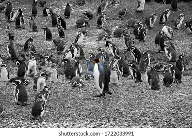 A King penguin in front of many Magellanic Penguins, Tierra del Fuego, Argentina