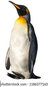 King penguin. isolated on white background