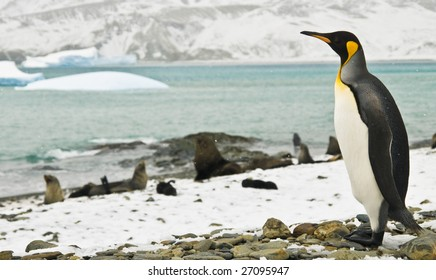 King penguin looking over icy bay
