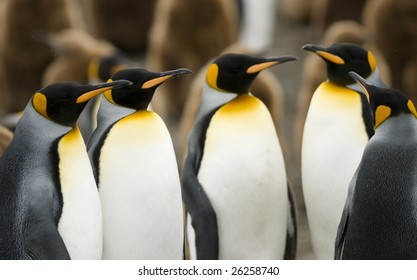 King penguin meeting