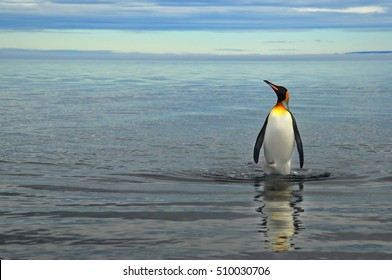 King Penguin on the beach in the island of Tierra del Fuego