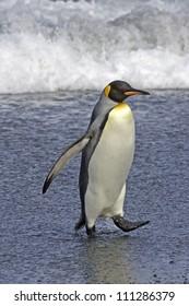 King Penguin on the shore, Australia