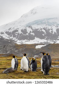 king penguin rests on a small mound on Salisbury Plain on South Georgia in Antarctica with space for taxt and background