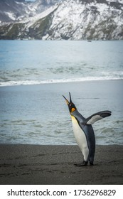 King penguin squawking on beach beside mountains