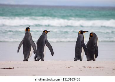 King Penguin at Volunteer Point, Falkland Island