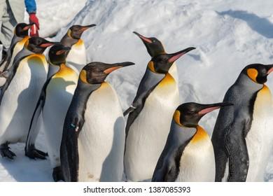 King Penguin walk for exercise, Hokkaido, Japan