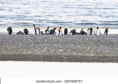 King Penguins (Aptenodytes patagonicus) on the beach at Parque Pinguino Rey on Tierra del Fuego in Patagonia