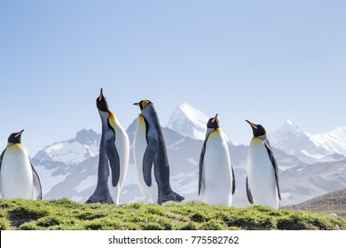 King penguins bask in the sunshine at St Andrews Bay, the worlds largest king penguin colony in South Georgia.