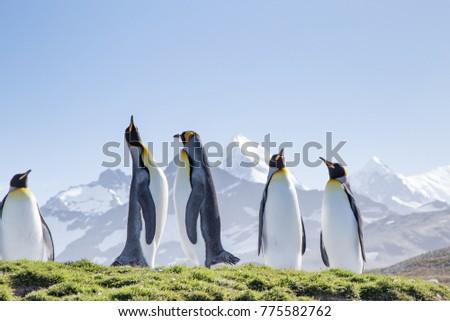 King penguins bask in