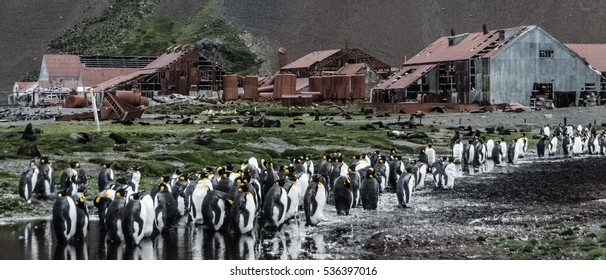 King Penguins in front of the abandoned Whaling Station at Stromness: South Georgia.