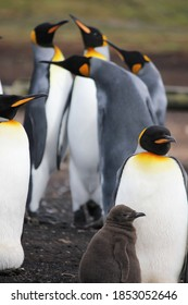 king penguins groups bluff cove