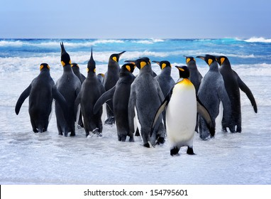 King Penguins heading to the water in the Falkland Islands