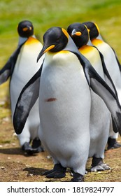 King Penguins lined up at Volunteer Point, Falkland Islands.