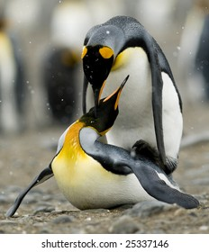 King penguins mating