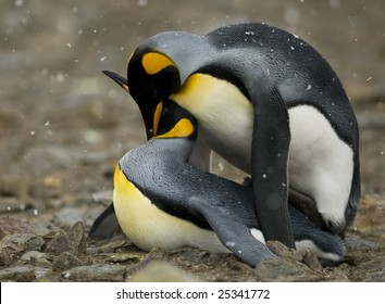 King penguins mating - side view