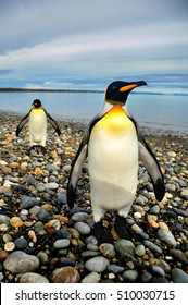 King Penguins on the beach in the island of Tierra del Fuego