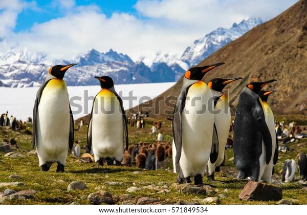 King penguins on South Georgia Island, Antarctica