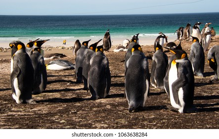 King penguins, Saunders Island in the Falkland Islands