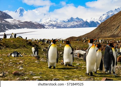 King penguins in stunning surroundings on South Georgia Island, Antarctica