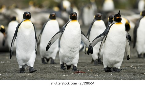 King penguins in sync