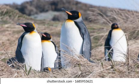 King penguins in Tierra del Fuego, Chile.