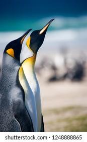 King Pinguins in Falkland Islands