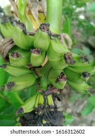 The king plantain is still green