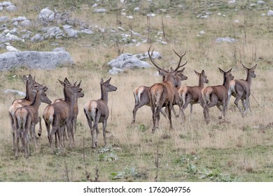 The King of prairies with his harem (Cervus elaphus)