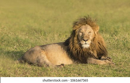 King of the Pride - A male lion, king of the lion pride, rests in the early morning light. Ngorongoro Crater, Ngorongoro Conservation Area, Tanzania, Africa.
