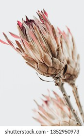 King protea flower. Dried Pink Protea Plant . Lifestyle image. Minimal home interior decoration. Poster image
