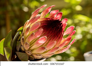 King Protea flower on nature background.