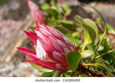 King Protea flower still in bud in Australian environment at Mount Tomah Botanic garden in the Blue Mountains, New South Wales.
