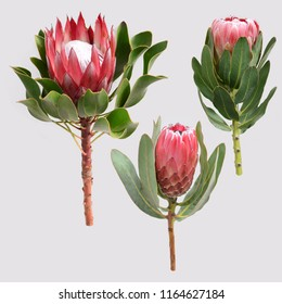 King protea flowers set. Spring or summer decoration floral bohemian design. Watercolor isolated. Perfect for invitation, wedding or greeting cards.