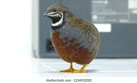 king quail 1