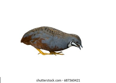 King quail isolated on white background (Male)
