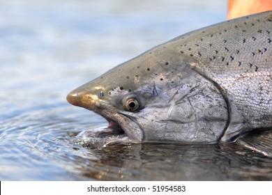 King Salmon awaits release